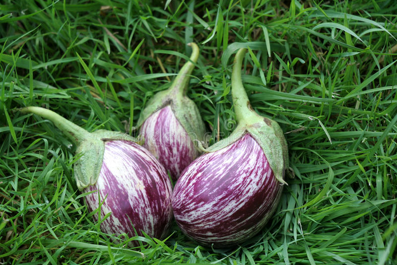 Eggplants On The Grass Stock Photo
