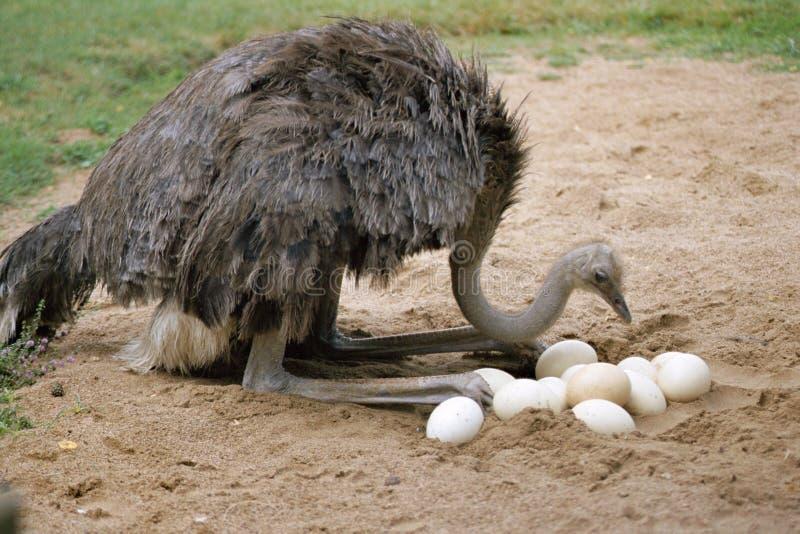 eggs свой страус гнездя стоковые изображения rf