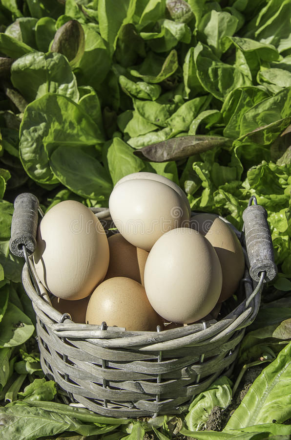 Eggs in a basket in a field of salad. In a sunny day stock photo