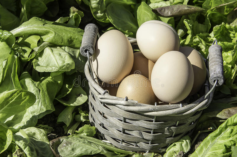 Eggs basket field of salad. Eggs in a basket in a field of salad in a sunny day royalty free stock photography