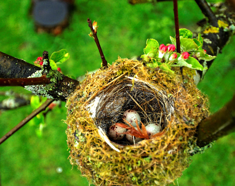 Download Eggs in birds nest stock photo. Image of above, blooming - 19733056
