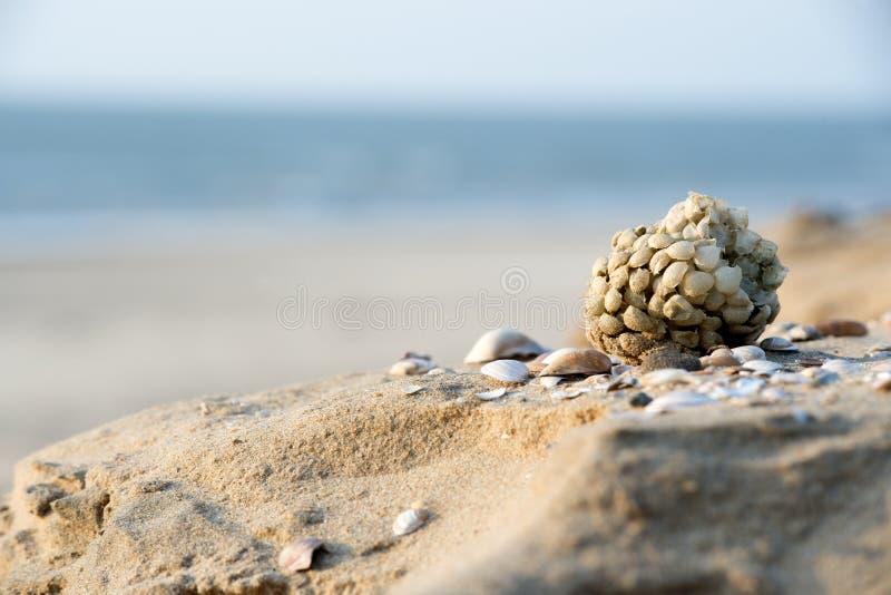 Download Eggs of common whelk stock image. Image of undatum, texel - 29284111