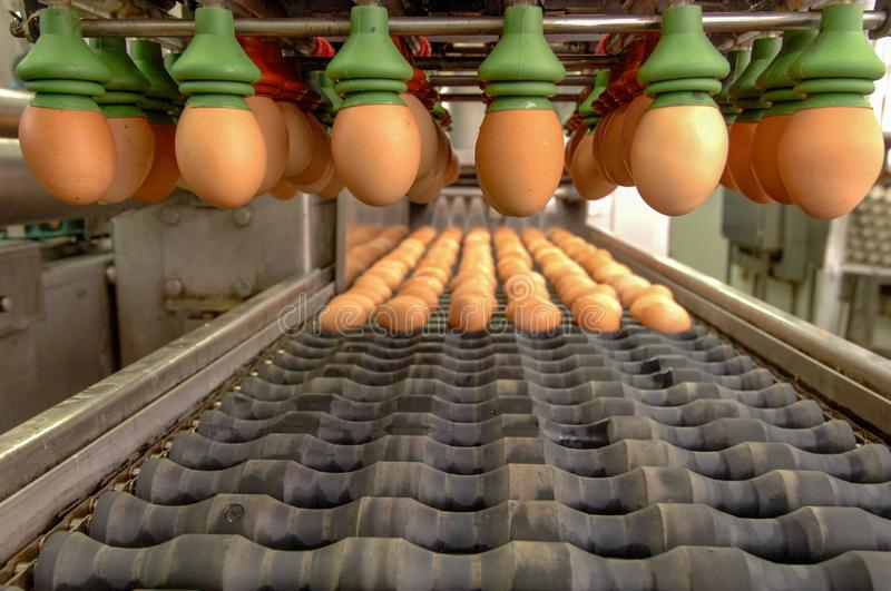 Egg factory on selecting process and grading production line. Eggs grading production line with fresh eggs are prepare for package in Automate Food Processing P royalty free stock image
