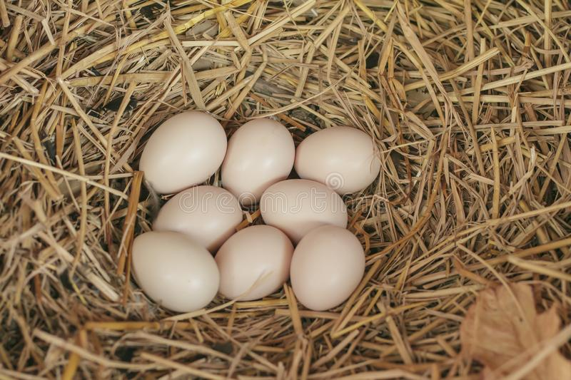 Eggs on the hay nest in the natural basket of chickens stock photography