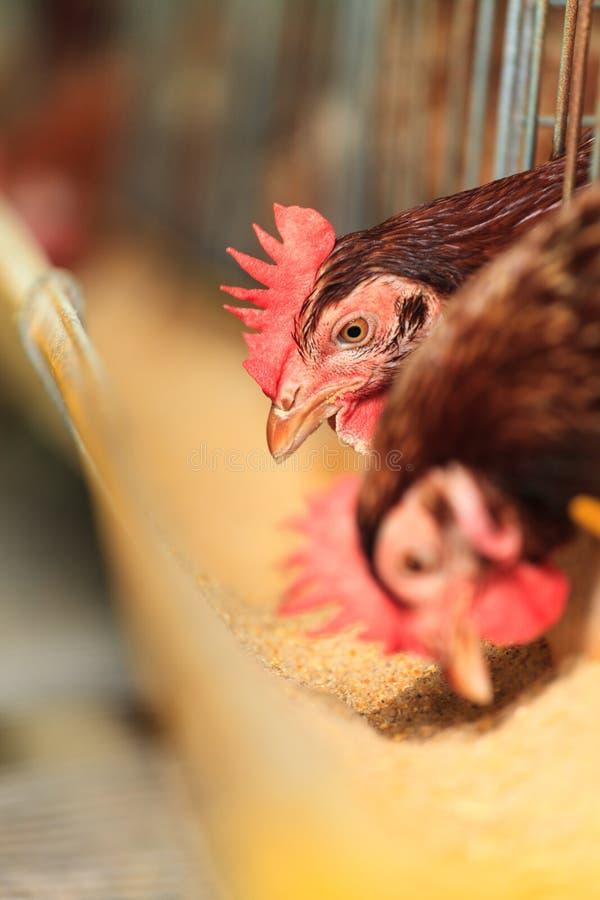 Eggs l'azienda agricola di pollo fotografia stock libera da diritti