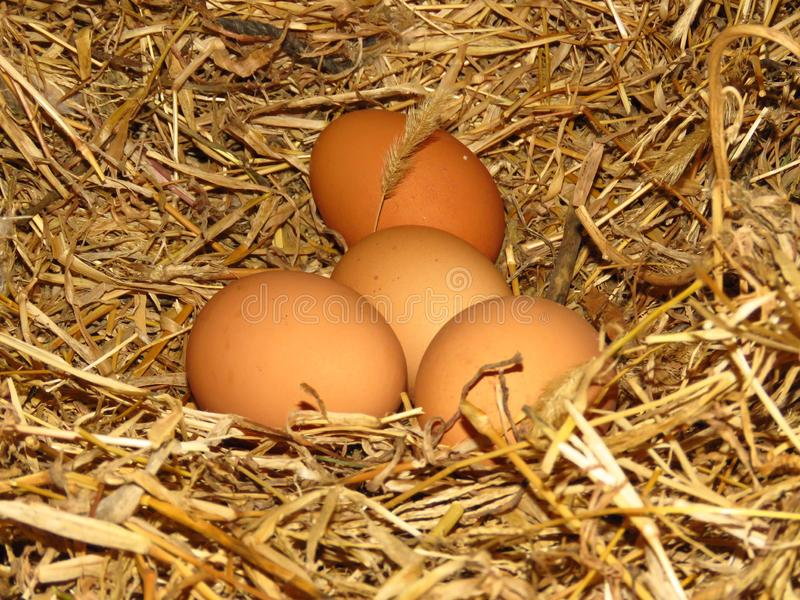 Eggs in natural straw hens nest. Organic brown-shelled eggs. Happy Easter. Bio farming. royalty free stock image
