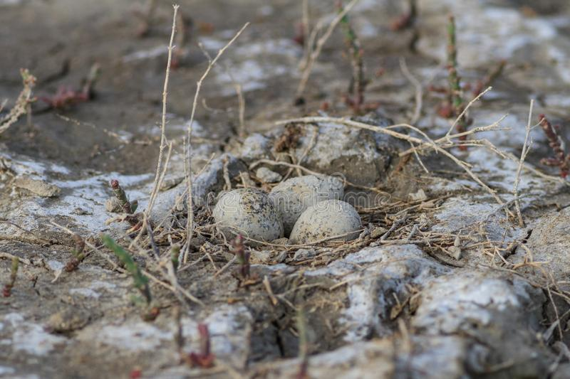 Eggs in the nest in natural habitat royalty free stock image