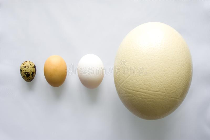 Eggs - ostrich, chicken and quail is on gray background in order of decreasing or increasing relative to size top view. Concept or stock photo