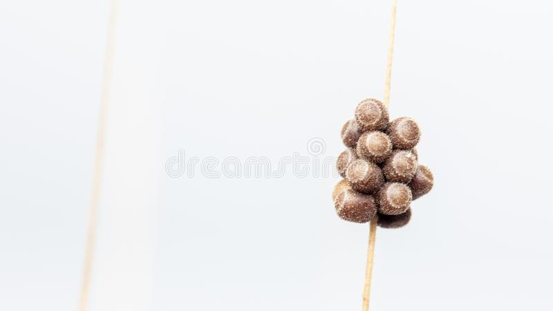 Eggs of the pest on a spike of wheat, macro, close-up. Background royalty free stock photos