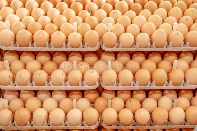 Lot of eggs on tray from breeders farm. Eggs in production line of selecting quality and healthy egg process in breeders incubation plant royalty free stock photo