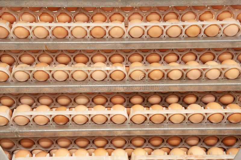 Lot of eggs on tray from breeders farm. stock photo