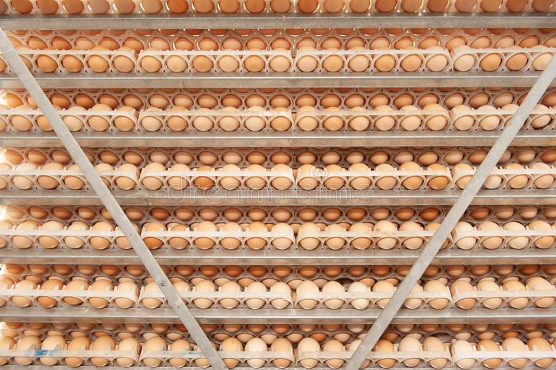 Lot of eggs on tray from breeders farm. Eggs in production line of selecting quality and healthy egg process in breeders incubation plant royalty free stock photos