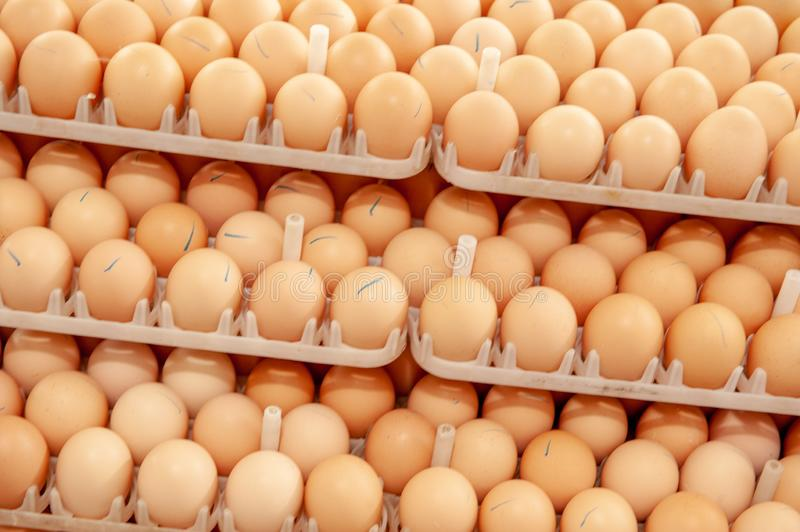 Lot of eggs on tray from breeders farm. stock photography