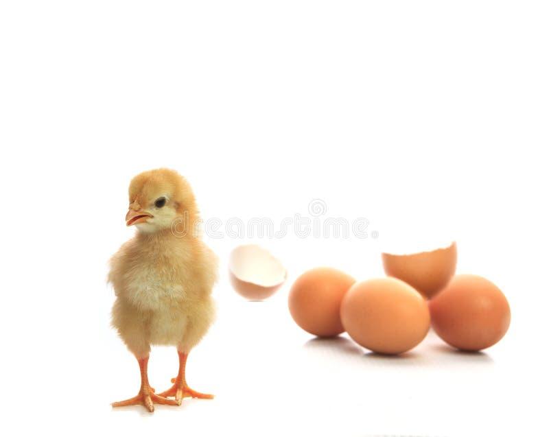 Eggshell новорожденного желтым сломанный цыпленоком смотря к изолированной камере стоковое изображение rf
