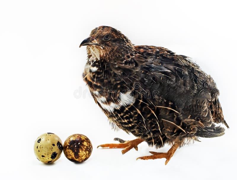 eggsl dorosła przepiórka zdjęcie stock