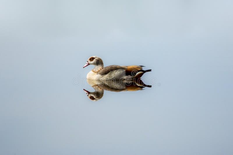 Egipska gąska na spokojnym jeziorze zdjęcie royalty free