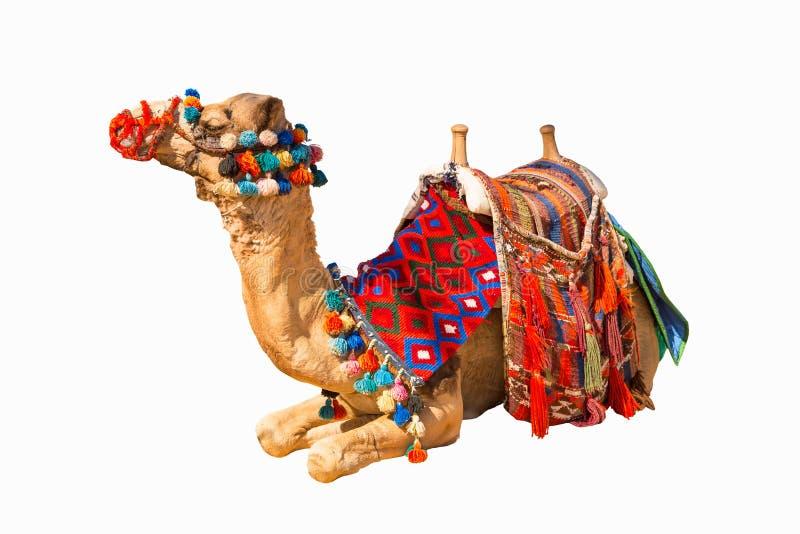 Egipski wielbłąd odizolowywający zdjęcie stock