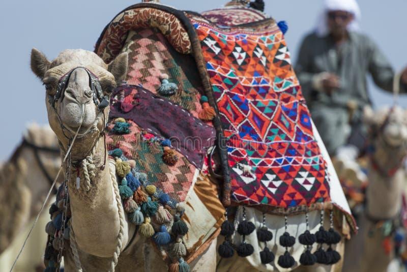 Egipski wielbłąd przy Giza ostrosłupów tłem Atrakcja turystyczna - fotografia royalty free