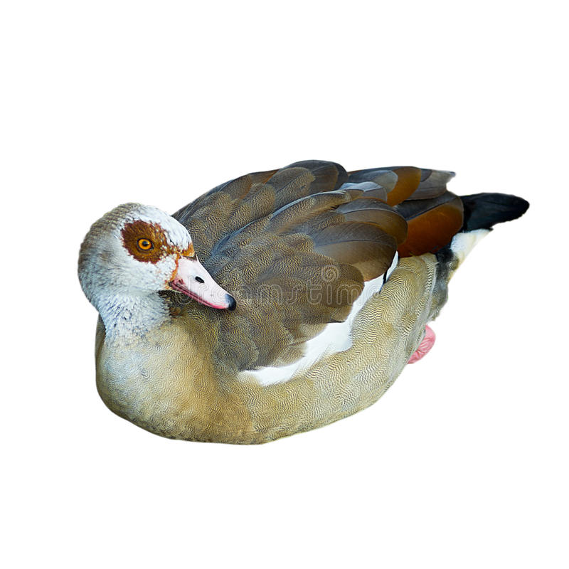 Egiptian goose. Isolated on a white background stock image