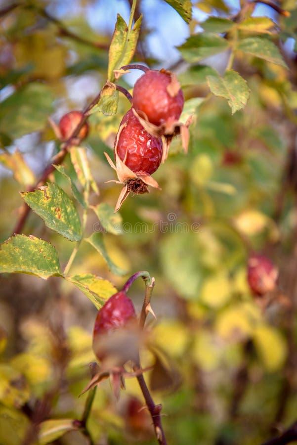 eglantine Cinorrodi (canina del rosa) fotografie stock libere da diritti