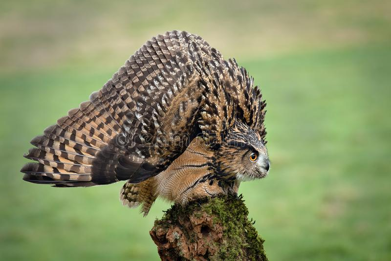 Egle owl in defensive posture. An eagle Owl in a threat or defensive posture, with feathers ruffled to increase apparent size. The head is lowered, and wings stock image