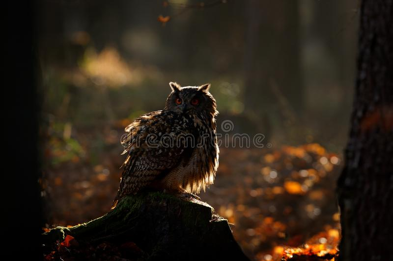 Egle owl in sunset, orange backlight in the forest. Eurasian Eagle Owl sitting on the tree stump in habitat, photo with backlight royalty free stock image