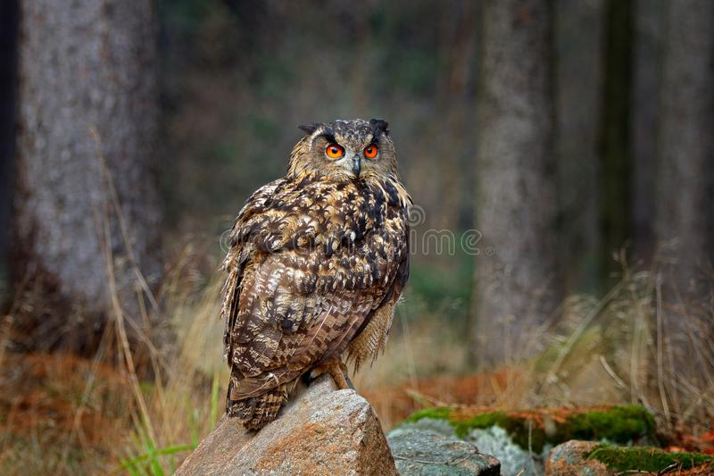 Egle owl in sunset, orange backlight in the forest. Eurasian Eagle Owl sitting on the tree stump in habitat, photo with backlight stock photography