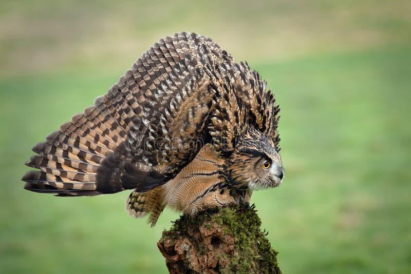 Egle uggla i defensiv ställing fotografering för bildbyråer