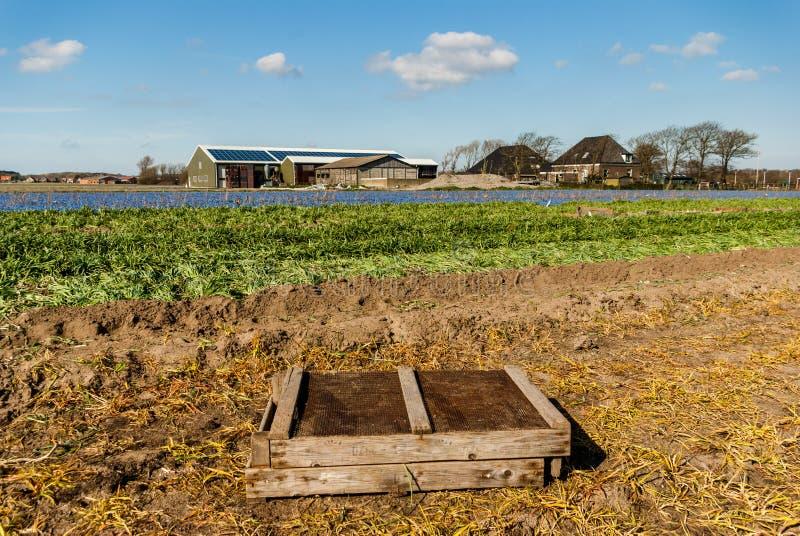 Egmond-binnen, los Países Bajos - abril de 2016: Cajón de madera del bulbo en el campo de la granja de la flor cerca del tiempo d imagen de archivo