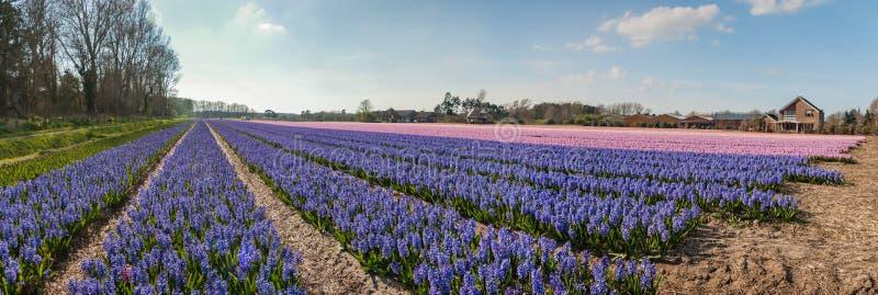 Egmond-binnen Nederländerna - april 2016: Flowerfields med purpurfärgad och rosa hyacintpanorama arkivbilder