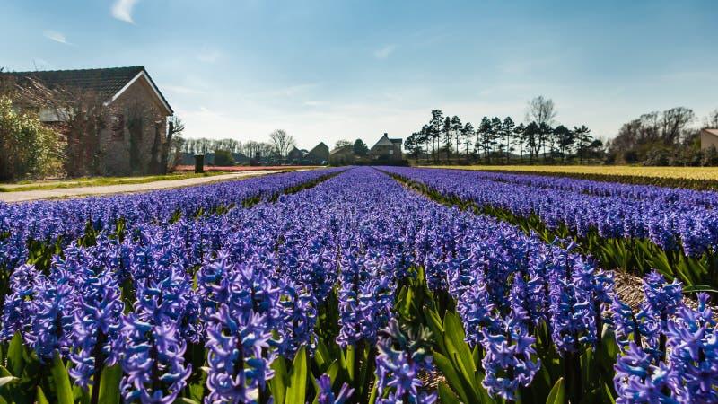 Egmond-binnen, Países Baixos - em abril de 2016: Casas azuis do flowerfield e da exploração agrícola dos jacintos fotos de stock royalty free