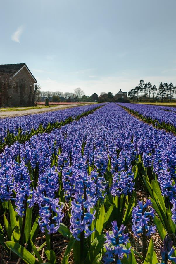 Egmond-binnen, Países Baixos - em abril de 2016: Casas azuis do flowerfield e da exploração agrícola dos jacintos imagens de stock royalty free