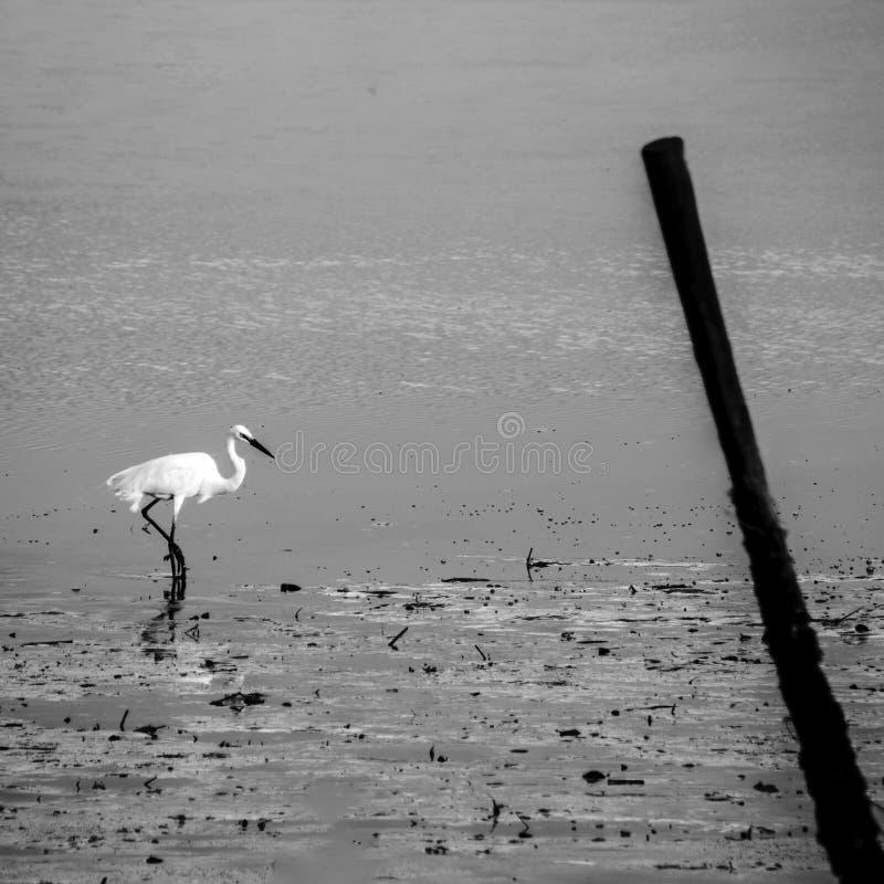 Egret идя на мелководье в идти дождь стоковые изображения