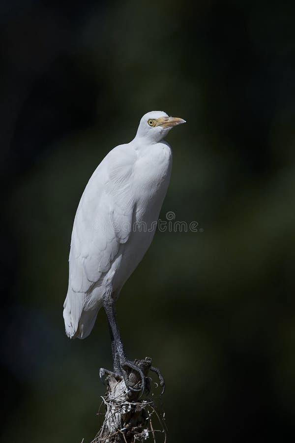 egret скотин ibis bubulcus стоковое фото rf