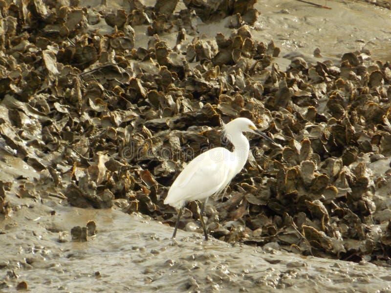 Egret łasowania ostrygi zdjęcie royalty free