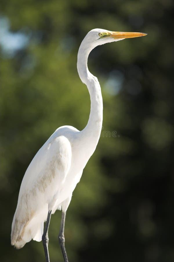 egret śnieg zdjęcie royalty free