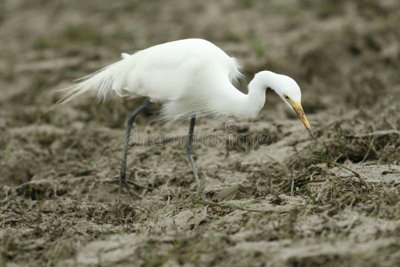 egret średni obraz stock