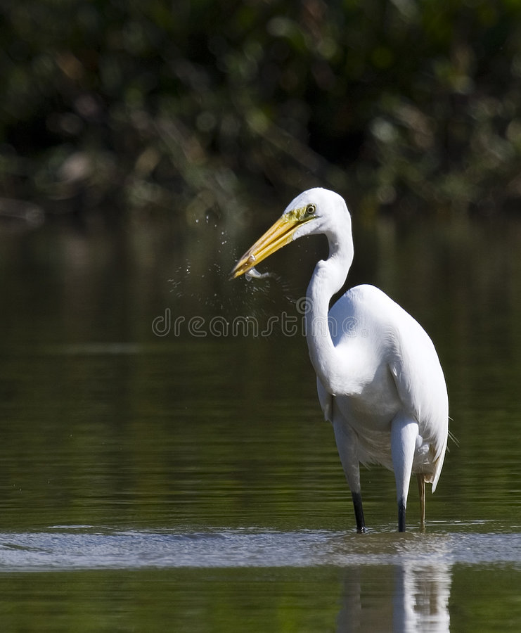 egret świetne ryby zdjęcia stock