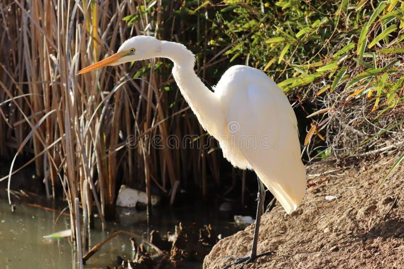 egret большой стоковая фотография