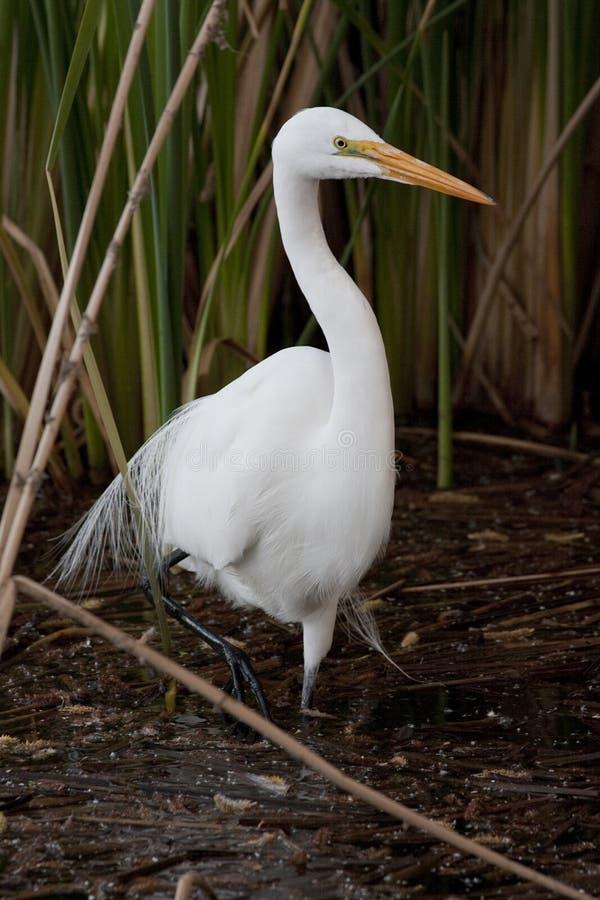 Download Egret большой стоковое изображение. изображение насчитывающей waterfowl - 18391175