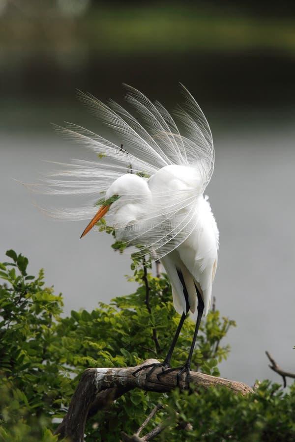 egret большой стоковое изображение