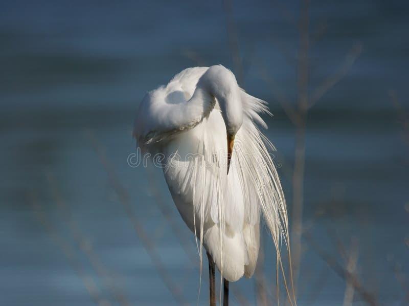 egret большой стоковое изображение rf