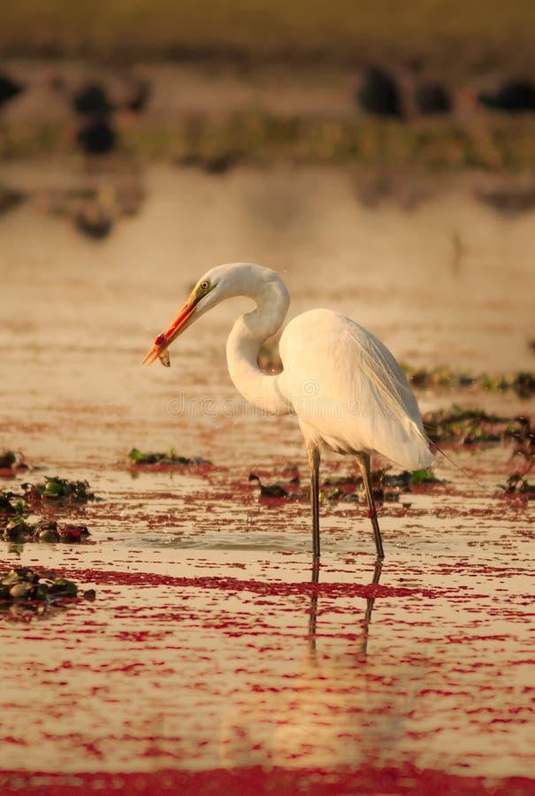 Egret есть рыб стоковые фотографии rf