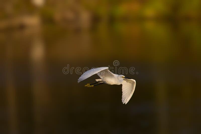 Egret летая снежной белизны в свете после полудня стоковое фото rf