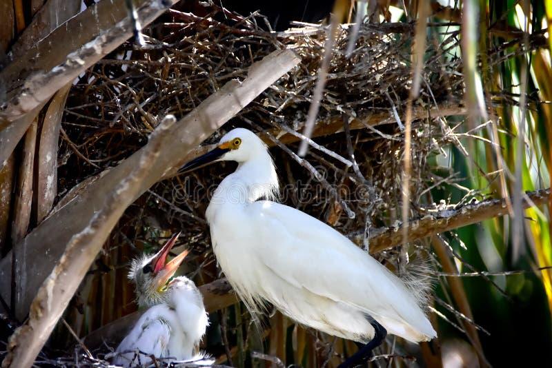 Egret и цыпленок Snowy в гнезде стоковая фотография rf