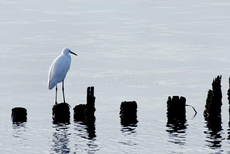 egret птицы стоковые изображения rf