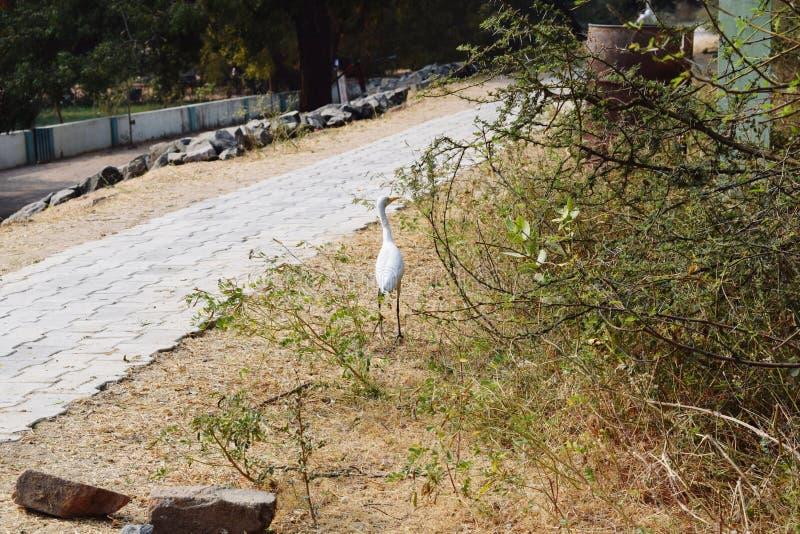 Egret птиц большой стоковое фото rf