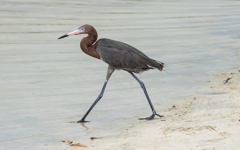 egret рыжеватый стоковые фото