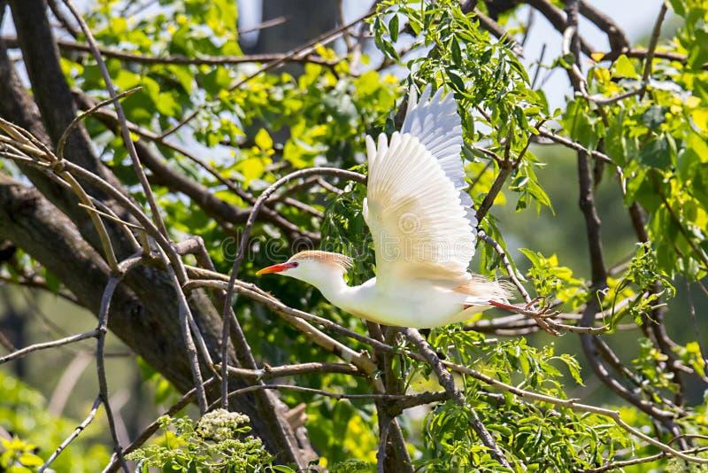 Egret скотин в полете стоковые фото