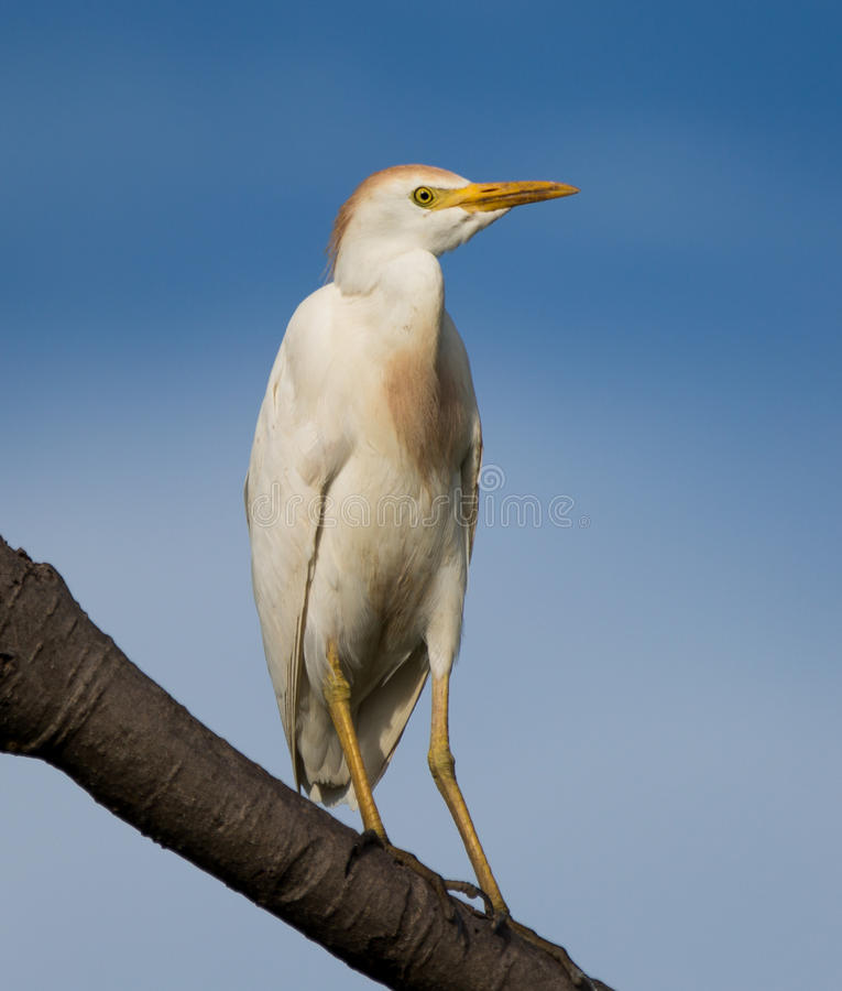 Egret скотин в размножении стоковое фото
